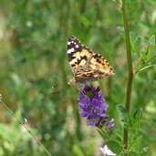 schmetterling distelfalter