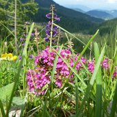 alpinflora am wegesrand latemar